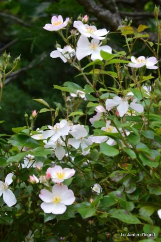 canal,fleurs blanches,marguerites,LE FLEIX,osier 090.JPG