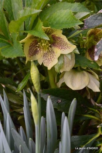 chez Fabien,hélébores,fleurettes 052.JPG