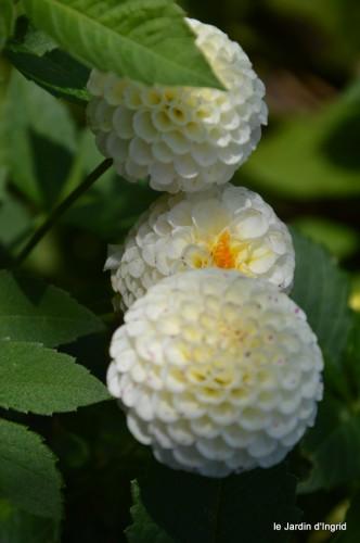 jardin,asters,fleurs blanches,chatte,rosiers roses 147.JPG