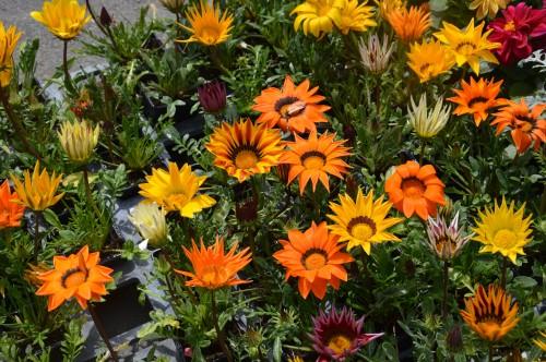 chateau  Banes,marché fleurs Lalinde 020.JPG