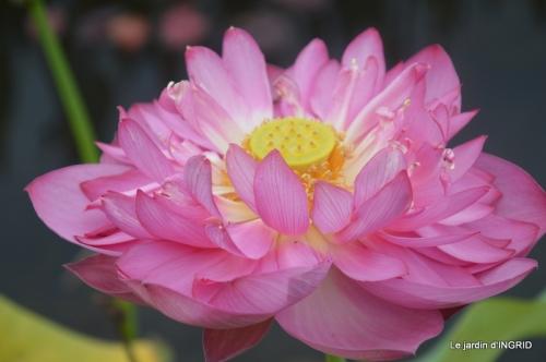 orage,puces,bouquet,Anniv.Ines,Brantome,Jardins d'eau 276.JPG