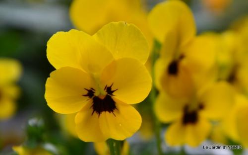 kakis,dernières fleurs,pt jardin,Julie,bassin 026.JPG