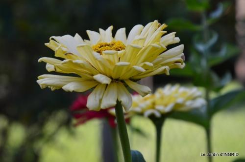 jardin Mme Perichou,grandes fleurs,bouquet,jardin 004.JPG