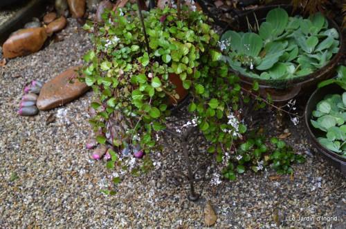 ménage automne,plectanthrus,feuillages 074.JPG