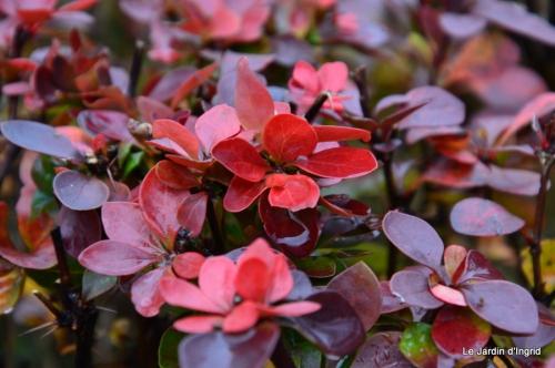les tons roses,choux frisés,automne 081.JPG