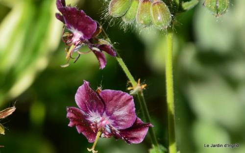 géraniums,glycine Monpazier,cabane,arums,fleurs sauvages 017.JPG