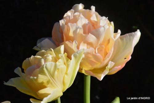jardin confiné ,osier,magnolia jaune 156.JPG