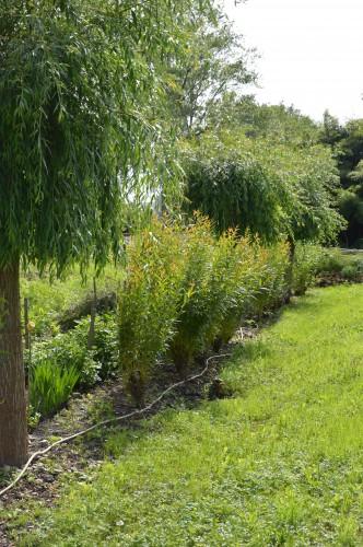 jardin,potager,roses,sauges 095.JPG