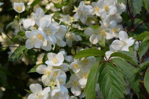 rosiers,fleurs blanches,pollen,magasin 161.JPG