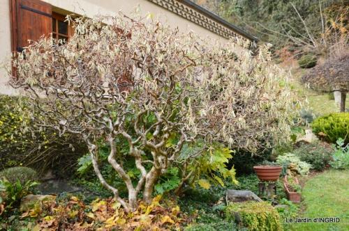 taille,arbustes,poinsettia,décos 004.JPG