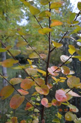 Ciron,feuilles d'automne,safran,taille érable 076.JPG
