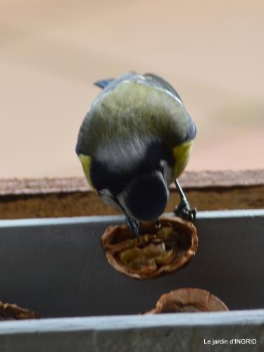 jonquilles,oiseaux avec noix,taille arbres,jardin 087.JPG
