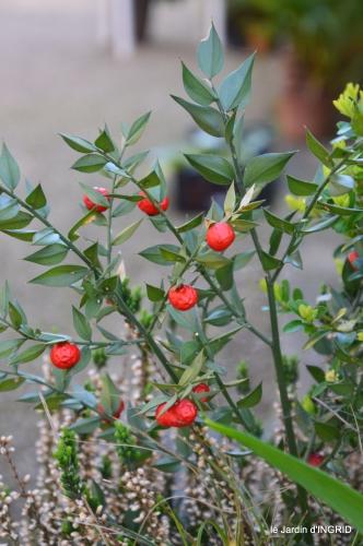 Rouge,narcisse,jardin 045.JPG