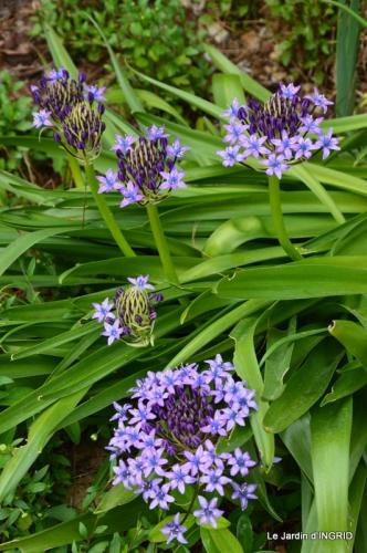 jardin avril,tulipes pivoine,iris d'eau,chenilles 090.JPG