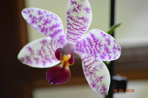 mesanges à longues queues,orchidées,neige2013 024.JPG