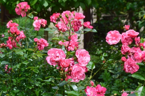 les roses au jardin 027.JPG