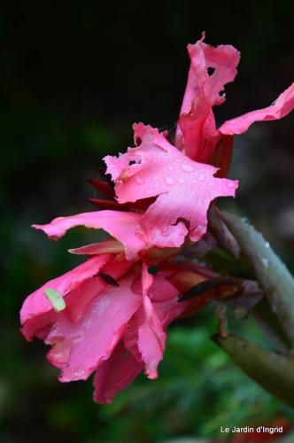 les tons roses,choux frisés,automne 025.JPG
