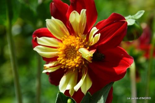 robe Julie,jardin,le flambé,lantanas,dahlias 047.JPG