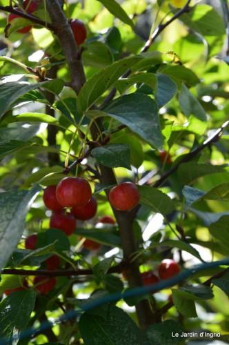 ménage automne,plectanthrus,feuillages 051.JPG