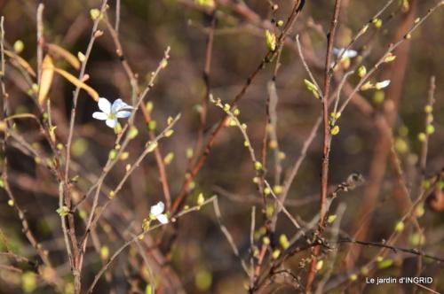 février,perces-neiges,hamamélis,paquerettes 026.JPG