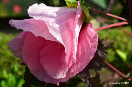Ines,bouquet,hibiscus rose,cygnes,jardin 107.JPG