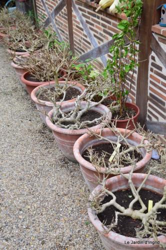 ménage automne,plectanthrus,feuillages 062.JPG