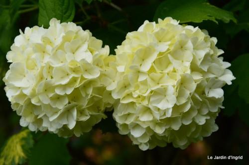 géraniums,glycine Monpazier,cabane,arums,fleurs sauvages 149.JPG