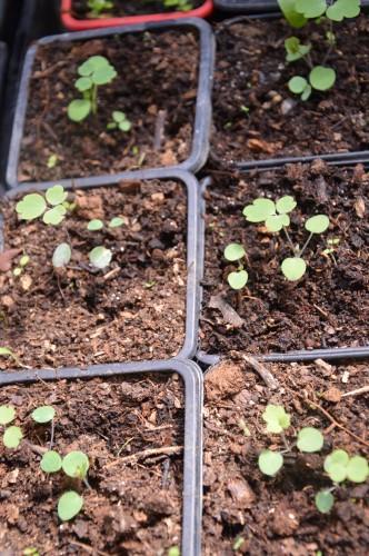 iris,arbre de judée,pivoine,Arya,viburnum,pts plants,cytise,akéb 087.JPG
