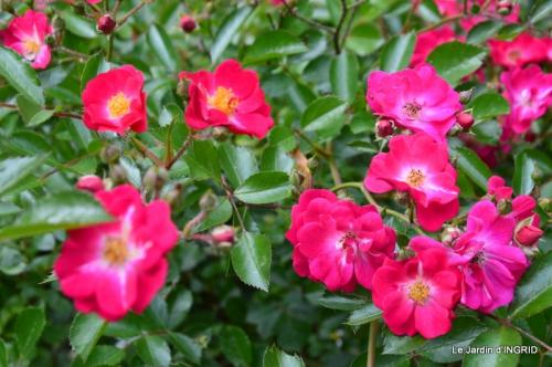 fête de la fraise Vergt,roses jardin 172.JPG