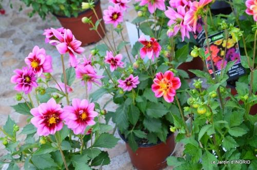 Cadouin,ancolies,roses,pollen,osier,photos Fabien,coquelicots 019.JPG