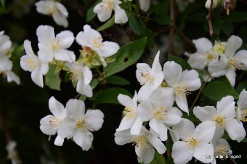 canal,fleurs blanches,marguerites,LE FLEIX,osier 041.JPG
