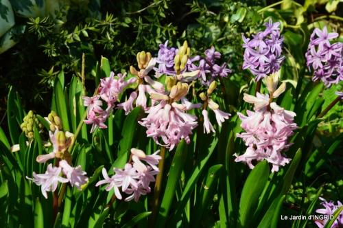 roseaux,narcisses,Nikky,semis,jardin 041-001.JPG