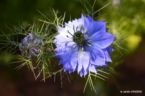 cygnes,Sophie,jardin en mai 016.JPG