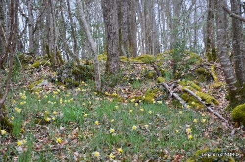 les jonquilles des bois 047.jpg