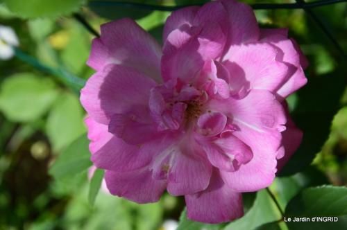 Cadouin,ancolies,roses,pollen,osier,photos Fabien,coquelicots 140.JPG