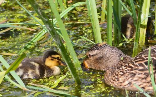 puces Lalinde,bébés canards,au moulin souci 132.JPG