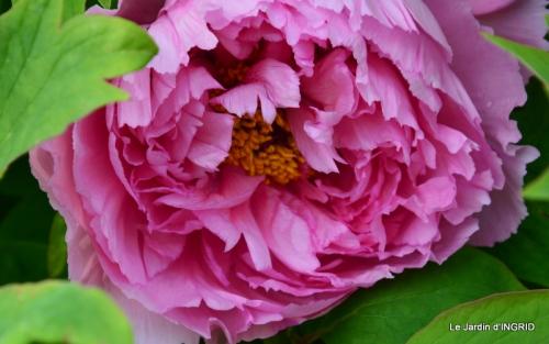 jardin avril,tulipes pivoine,iris d'eau,chenilles 077.JPG