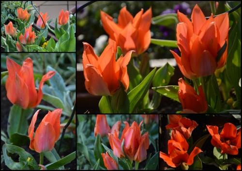 2013-04-05 Beaumont,tulipes,primevères et autres,chez Bernadette5.jpg