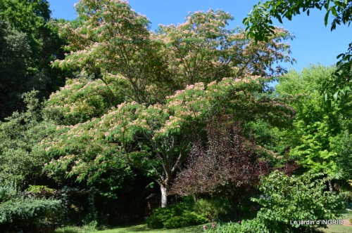 albizia,bouquet,plantes  en A 017.JPG