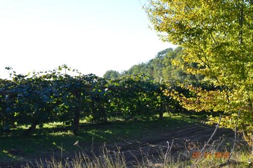 Ciron,feuilles d'automne,safran,taille érable 155.JPG