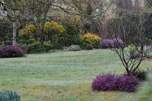 pluie,violettes,hélébores,jonquilles,jardin 102.JPG