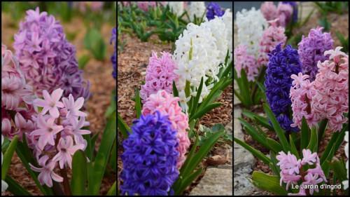 2014-03-28 jardin ,cane sauvage,paquerettes,tulipes5.jpg