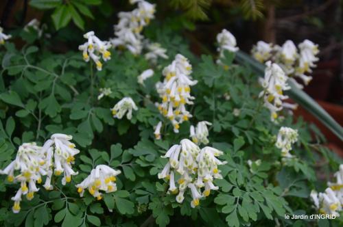 première roses,achats,jardin blanc 006.JPG