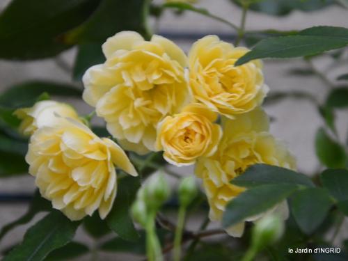 première roses,achats,jardin blanc 005.JPG