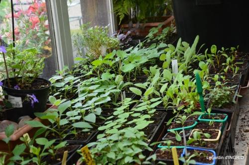 iris,ancolies,paté de paques,jardin 041.JPG