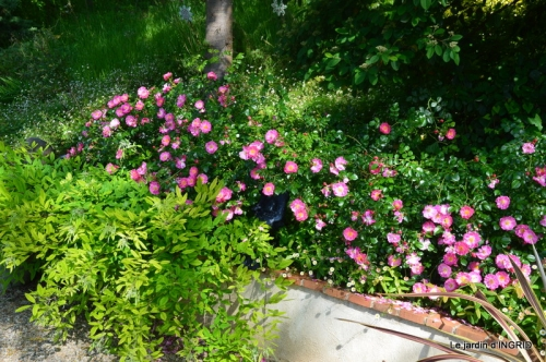 les roses au jardin 046.JPG