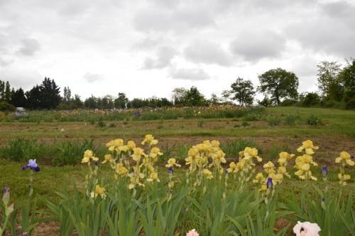 serre,iris,ancolie,iriseraie Papon,moulin 150.JPG