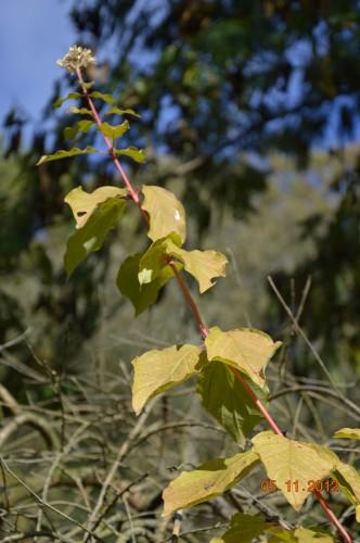 Ciron,feuilles d'automne,safran,taille érable 119.JPG