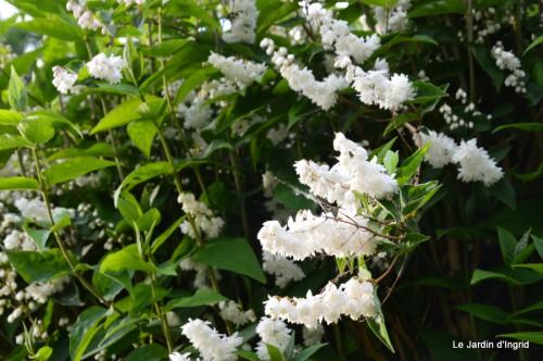 canal,fleurs blanches,marguerites,LE FLEIX,osier 065.JPG