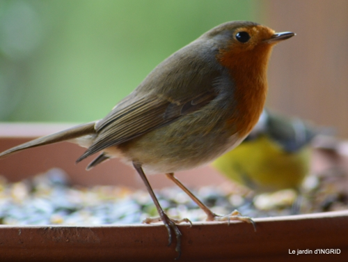 Tarins,oiseaux,persistants 014.jpg